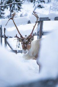 Urho the reindeer