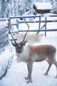 reindeers Urho and Lumi
